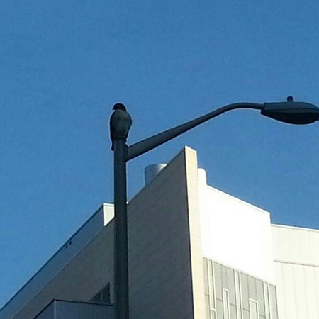 Kendall Square hawk seeking new prey.