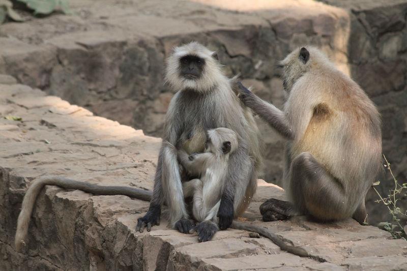 Langur family Animals In The Wild Child Family India Langur Mammal Monkey Mother Nature Rajasthan Ranthambore National Park Three Animals Wildlife