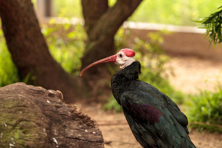 Southern bald ibis called Geronticus calvus is found in Southern Africa Animal Themes Animal Wildlife Animals In The Wild Bald Ibis Beak Bird Close-up Day Geronticus Calvus Ibis Nature No People One Animal Outdoors Perching Southern Bald Ibis Tree