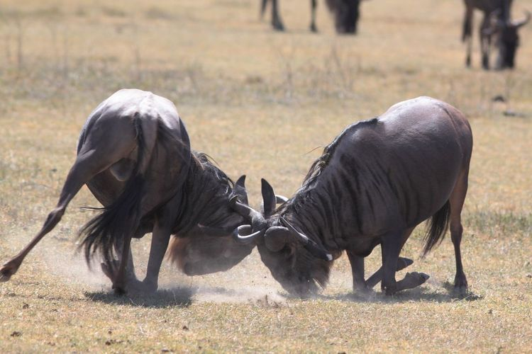 View of two wildebeest fighting