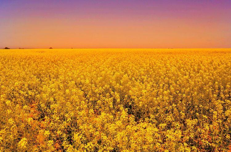43 Golden Moments Yellow Flowers Macro RapeFlowers Field Sea Of Flowers Golden Season Colour Palette