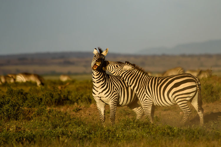 Zebras fighting on field against sky