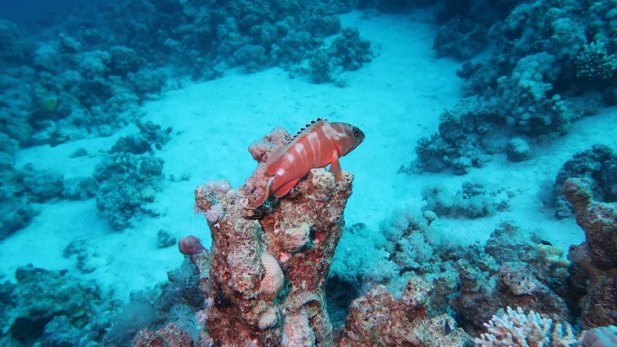 Red Sea, Egypt: A reef fish on the watch on his coral tower Diving Egypt Red Red Sea Diving SCUBA Safaga Wildlife Photography Animals In The Wild Blue Coral Fish Marine No People Ocean Outdoors Red Color Red Sea Reef Sand Sea Life UnderSea Underwater Wildlife