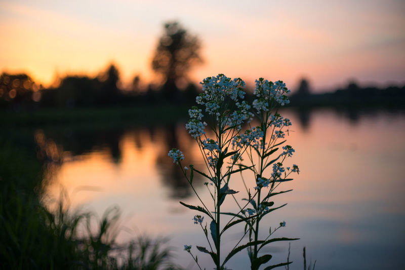 Beauty In Nature Bokeh Bokeh Photography Flower Focus On Foreground Foreground Full Frame Growth Lake Nature No People Outdoors Plant Poland Reflection Scenics Silhouette Sky Sony A7 Sunset Tranquil Scene Tranquility Tree Water Waterfront
