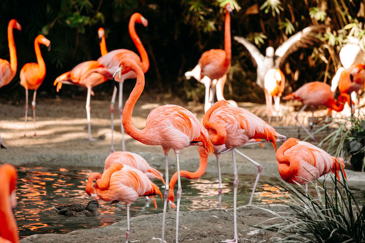Flock of flamingoes in the lake
