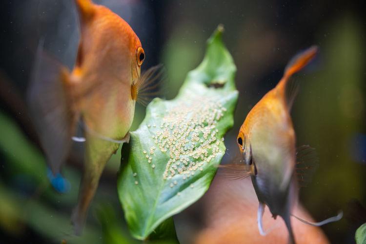 Pair of gold pterophyllum scalare in aquarium, yellow angelfish guarding eggs. roe on the leaf.