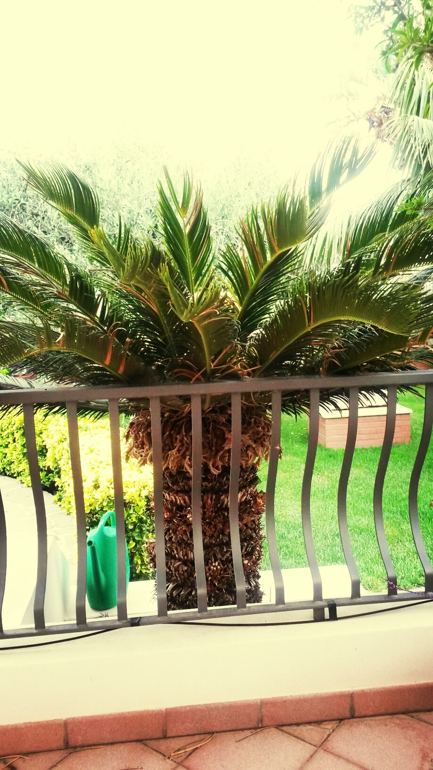 green color, railing, growth, tree, in a row, palm tree, plant, nature, day, swimming pool, clear sky, fence, green, outdoors, potted plant, water, sunlight, no people, built structure, grass