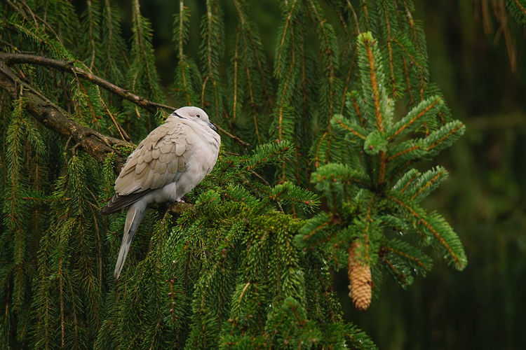 Bird perching on pine tree