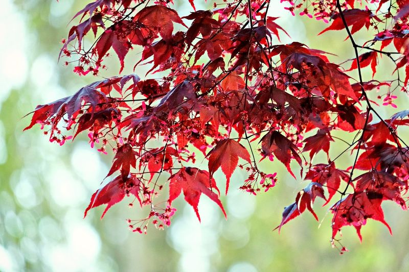 Every place has its own beautiful spot. Canada Vancouver Tree Plant Branch Red Plant Part Leaf Growth Beauty In Nature No People Nature Day Close-up Outdoors Leaves Maple Leaf