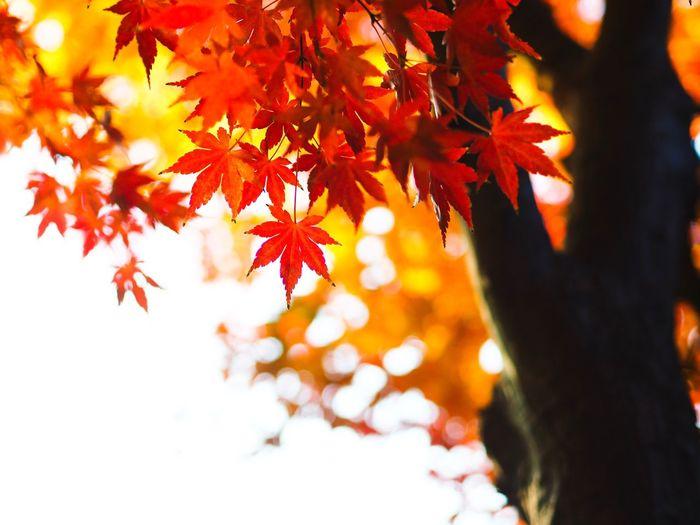 秋の光のイルミネーション。 Maple Maple Leaf Maple Tree Autumn Leaf Orange Color Tree Branch Leaves Change Tranquility Scenics Outdoors Day No People Tokyo Street Photography Olympus OM-D E-M5 Mk.II