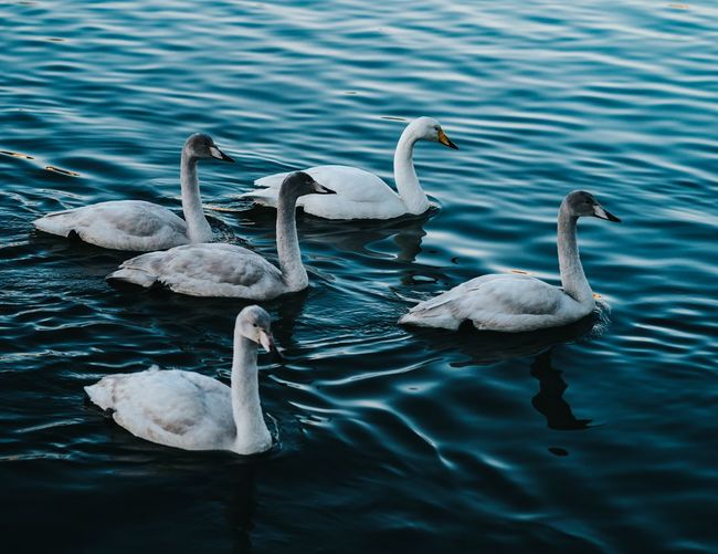 Swans of