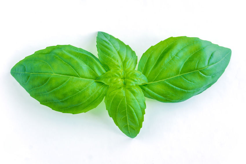 Fresh green Basil Leaf isolated on white clean Background, Green Basil Herb, Design Element. Isolated On White Background Fresh Basil Design Element Basil Isolate Herb Basil Freshness Green Green Color Isolated Mediterranean  Salad Background Basil Leaves Close-up Cut Out Decoration Directly Above Food Food And Drink Healthy Eating Herb Ingredient Italian Food Leaf Plant Raw Food Studio Shot Wellbeing White Background