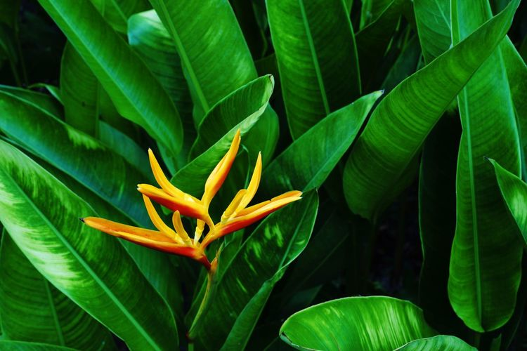 Heliconia, flowering plant for garden decoration and cutting flower Plant Growth Plant Part Green Color Leaf Beauty In Nature Nature Close-up Outdoors Heliconia Cutting Flower Decoration Garden Flowers Park