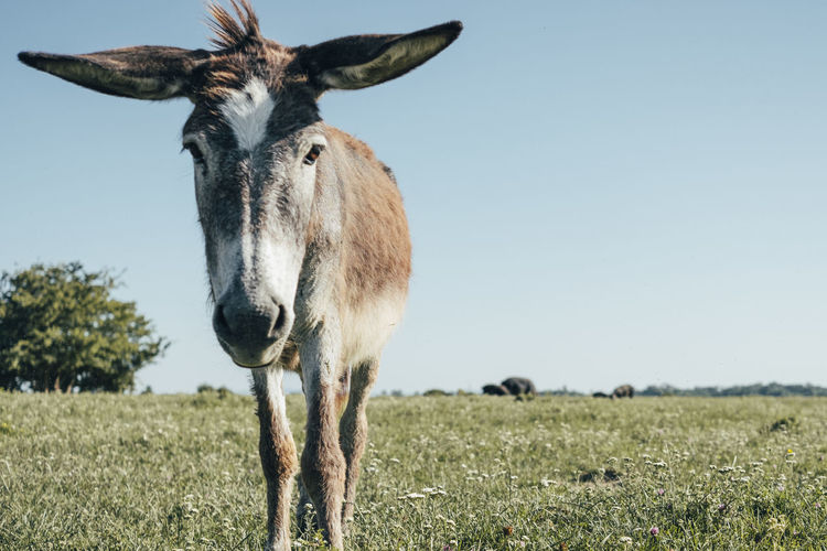 Donkey Animal Animal Themes Mammal One Animal Animal Wildlife Vertebrate Land Field Nature Domestic Animals Sky Standing Plant Day Looking At Camera Animals In The Wild No People Portrait Grass Clear Sky Herbivorous Outdoors Animal Head  My Best Photo