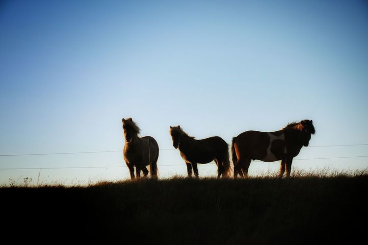 Horses on field against clear sky