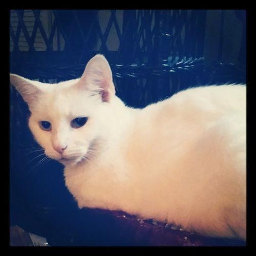 And the Roxie baby ? Caturdaymorning Catsofinstagram Cats Fiercefelines whitecats roxiebaby familiar lazycatdaze furbaby theroxinator caturday oddeyed