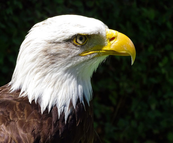 American Eagle Bald Eagle Bald Eagle Portrait Animal Head  Animal Themes Animal Wildlife Animals In The Wild Bald Eagle Bald Eagle Close-up Beak Bird Bird Of Prey Close-up Day Eagle - Bird Focus On Foreground Nature No People One Animal Outdoors Side View White Color