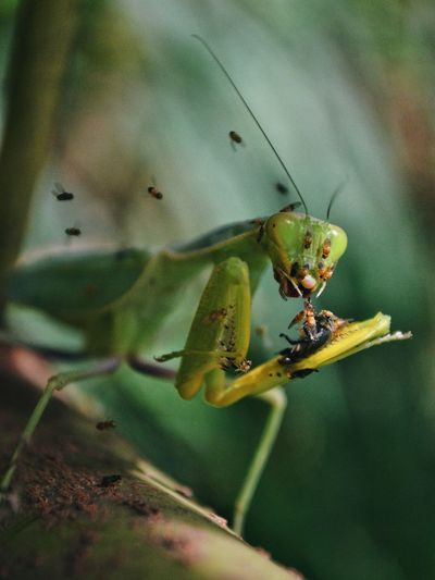 Insect Animals In The Wild Animal Themes Green Color Outdoors Close-up Nature Mantis Praying Mantis Preying Mantis Flies Nature Photography Horror Environment Insects  Insect Photography Perspectives On Nature Bugs Creepy Crawly Critters