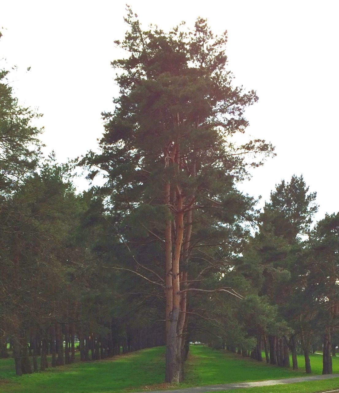 tree, tree trunk, nature, branch, tranquility, growth, landscape, lone, no people, beauty in nature, outdoors, grass, day, sky