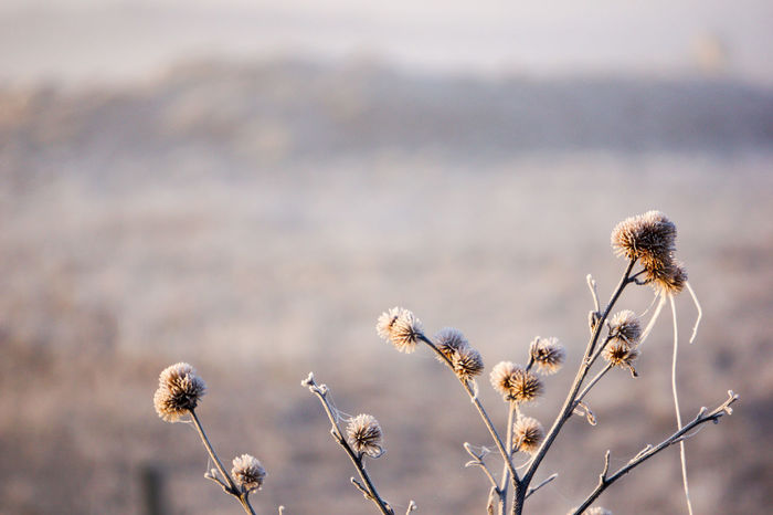 Close-up Focus On Foreground Frosty Frosty Morning Nature Non-urban Scene Thistle Tranquility Wildflower Winter
