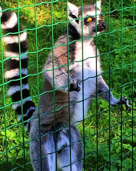 Lemur Lemurs Black And White Tale Rigazoo Zoo Curious Curiousity In Jail Jail Funny FUNNY ANIMALS IPhoneography IPhone 6s IPhone Photography