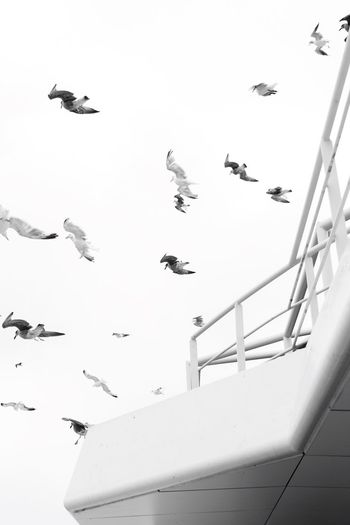 Monochrome Photography Animal Themes Bird Animals In The Wild Flying Spread Wings Wildlife Flock Of Birds Clear Sky Sky Zoology Nature Day Tranquility Animal Behavior Beauty In Nature No People Majestic VSCO Check This Out Hello World Vscocam The Week Of Eyeem Black And White Photography Blackandwhite Photography