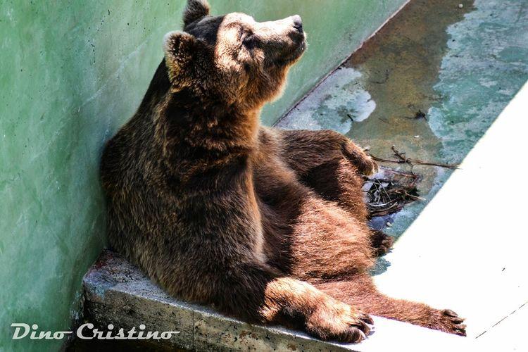 Fasano Zoo Zoo Di Fasano Dino Cristino Natura Natura Selvaggia Animals Animali Orso Orso Bruno Bear Fotografia Ritrattistica Fotografia Naturalistica Colors Colori Contrasto