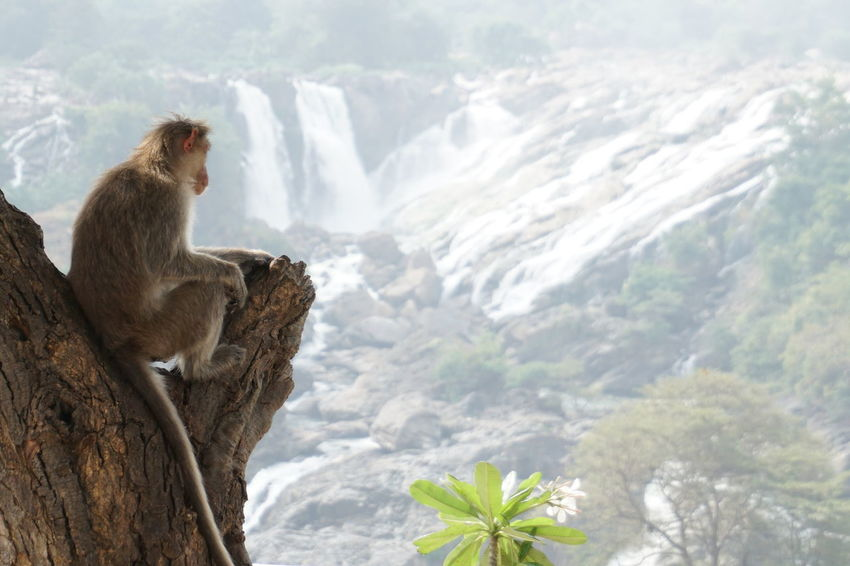Rural India India Animal Themes Animal Animal Wildlife Animals In The Wild Nature Mammal One Animal Monkey Primate Beauty In Nature Sitting Waterfall Macaque View Shivanasamudra South India Karnataka A New Perspective On Life