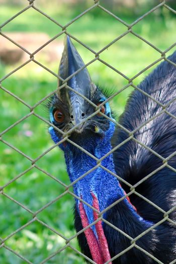 Cassowary. The most dangerous bird on earth Dinossaurs Dangerous Animals Dangerous Animal Animal Themes One Animal Fence Vertebrate Cage Animal Wildlife Bird