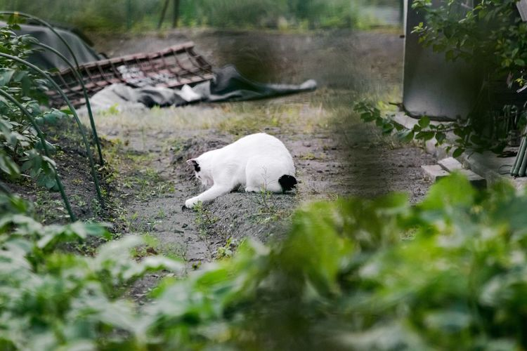 White Cat On Dirt By Plants In Back Yard