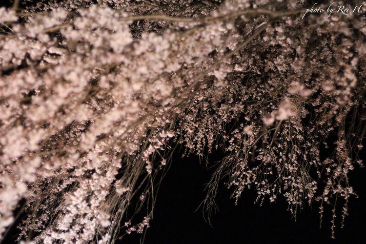 枝垂れ桜 4 ~ Weeping cherry Tree 4 ~ 桜 枝垂れ桜 花 単焦点 Cherryblossoms Weeping Cherry Tree Flowers Singlefocus 50mm Canon