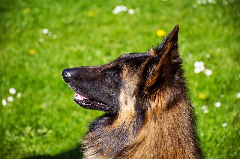 Am I a good dog? Belgian Tervueren Close-up Day Dog Domestic Animals Grass One Animal Outdoors