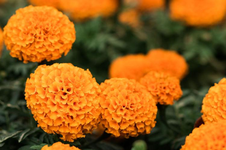 Close-up of orange marigold flowers