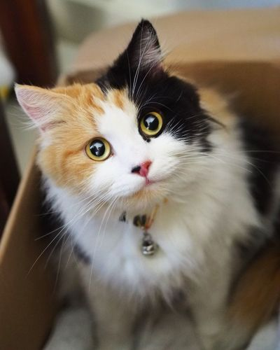 Pets Domestic Cat Domestic Animals Feline Animal One Animal Animal Themes Mammal No People Indoors  Alertness Portrait Looking At Camera Close-up Day