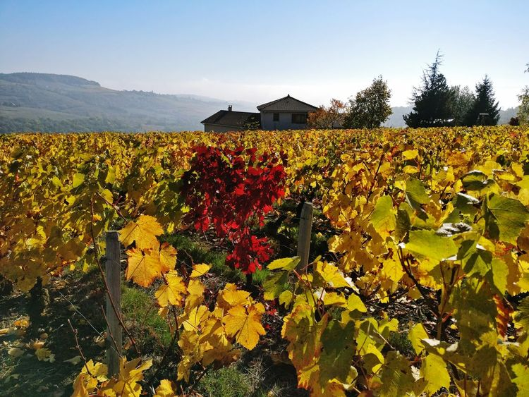 Flower Agriculture Nature Leaf Sky Landscape Autumn Colors Autumn Leaves OutdoorsPlant France Beaujolais Beaujolaisnouveau Vignes Colours Of Nature Colours Growth Travel Close-up Blossom Beauty In Nature No People EyEmNewHere