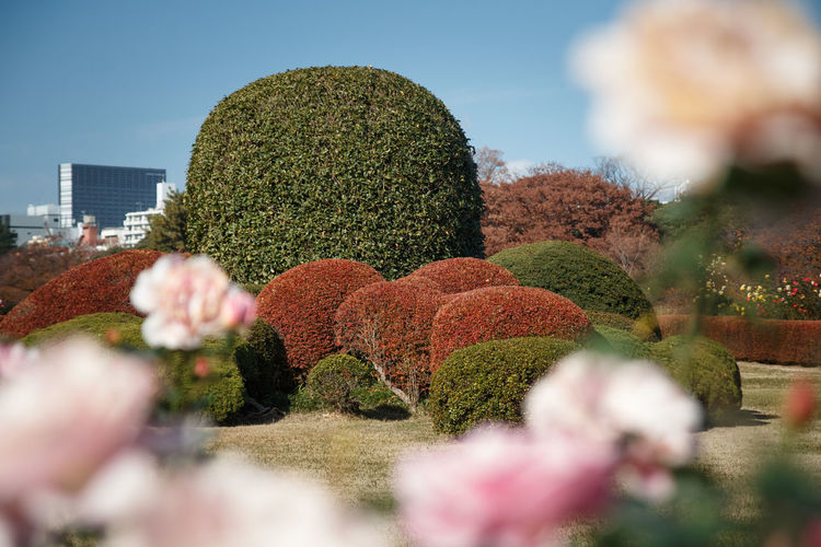 Plant Selective Focus Growth Nature Flower Beauty In Nature Flowering Plant Day No People Tree Focus On Background Sky Freshness Garden Formal Garden Tranquility Outdoors Park Topiary Park - Man Made Space Hedge