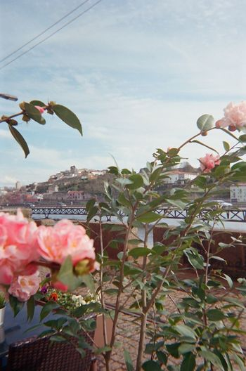 Filmcamera Portugal Porto Sunny Pink Flower Pink Color Flower Lisbon Film Photography Plant Growth Nature Sky Flower Flowering Plant Summer Exploratorium Close-up Pink Color Cloud - Sky Beauty In Nature Day Architecture Leaf Fragility