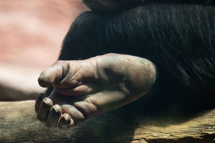 Cropped leg of chimpanzee