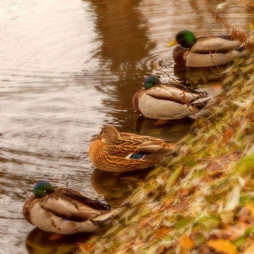 Sleeping ducks Birds Ducks Nature Lake Pond Sleeping Water