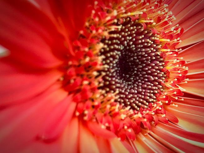 Flower Petal Fragility Nature Pollen Freshness Beauty In Nature Flower Head Macro Close-up Growth No People Full Frame Backgrounds Red Sunflower Blooming Day EyeEm Nature Lover Beauty In Nature Flower Collection Garden Photography EyeEm Best Shots - Nature Flower Photography EyeEm Best Shots - Flowers