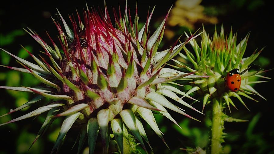 Çiçek flovers Detay detail Plant Nature No People Freshness Close-up Outdoors Insect Focus On Foreground Growth FlowerFlower Head Beauty In Nature Day Fragility Thistle First Eyeem Photo