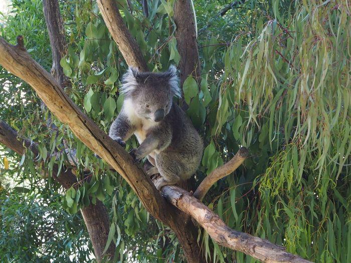 View of koala in tree