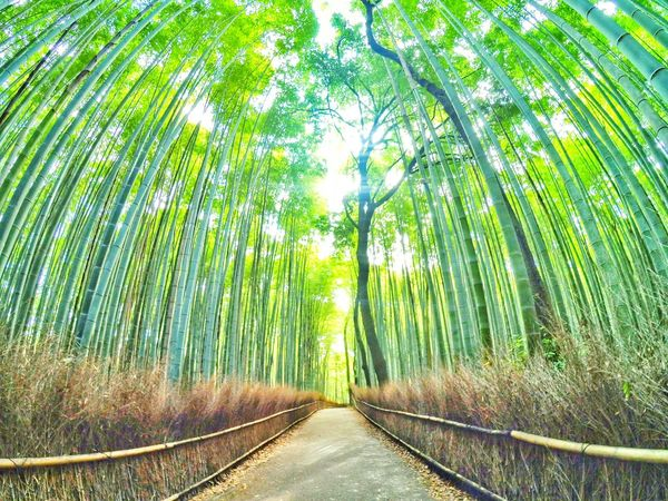 Path of Bamboo. Arashiyama Kyoto Arashiyama Bamboo Bamboo Forest Nature Japan Kyoto The Great Outdoors - 2015 EyeEm Awards
