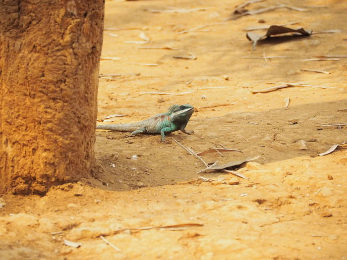 Blue crested