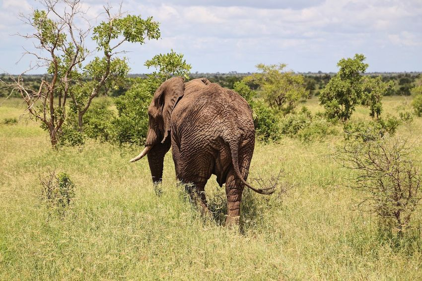 Elephant Grass Nature Animals In The Wild Landscape Tree Animal Outdoors African Elephant Tusk One Animal Animal Wildlife Animal Trunk Beauty In Nature No People Day Mammal Animal Themes Sky