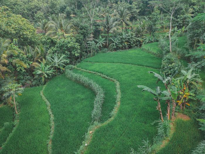 Green rice field high angle