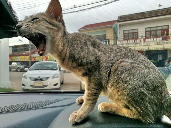 My Little Tiger Hahahaha 😂😂😂😂😂 Cat Animal Naughty Cat Cat♡ Little Cat❤