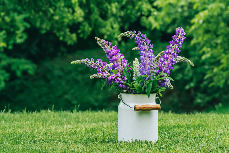 Close-up of bouquet of purple lupine flowers on grass