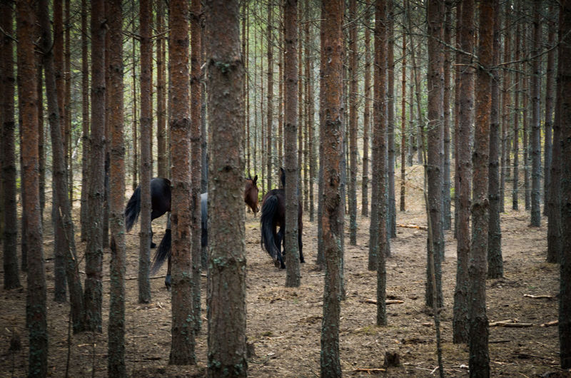 "Autotag suggestion: ""only men"" !? Animals Forest Hidden Hide And Seek Horse Horses Pine Pine Tree Pine Trees Playing Tag Running Tree Tree Trunk Vertical No People"