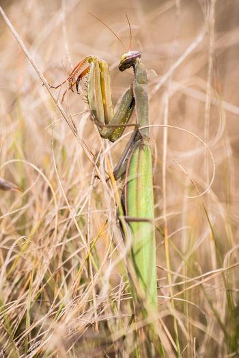 Close-up of praying mantis on grass